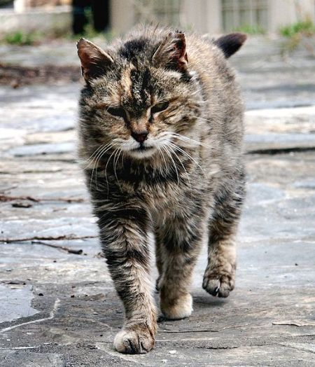 515px-Feral_cat_Virginia_crop