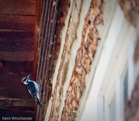 Hairy Woodpecker-1