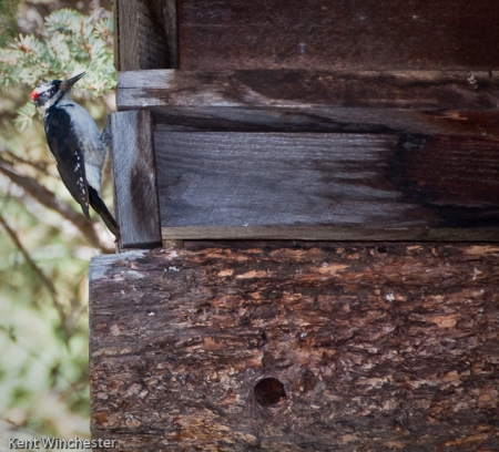 Hairy Woodpecker-2