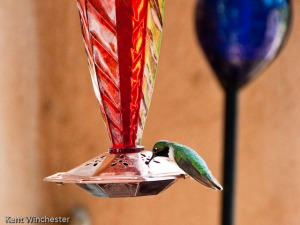 hummingbird pet