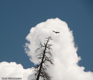 Turkey Vulture-1