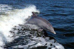 Bottlenose dolphin from treehugger.com