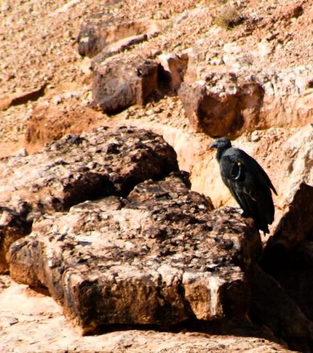 California Condor-1