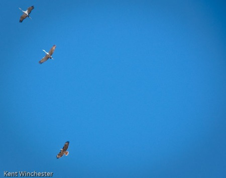 Crane and Hawk-2