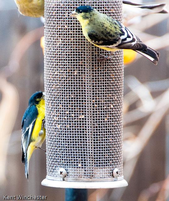 House Sparrow Fat Finch Backyard Birds Birding Blogging