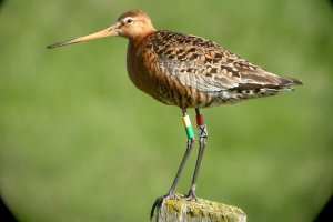 godwit-NYTimes